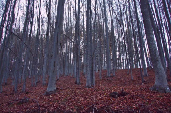 Бялата гора